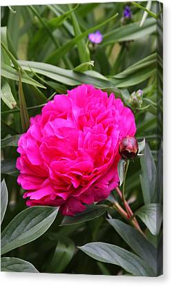Canvas Print featuring the photograph Pink Peony by Vadim Levin