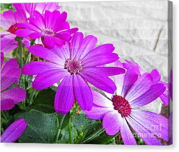 Pink Perciallis Ragwort Flower Art Prints Canvas Print