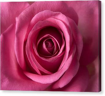Pink Perfection - Roses Flowers Macro Fine Art Photography Canvas Print