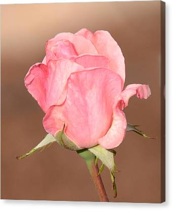 Pink Petals Canvas Print by Julie Cameron