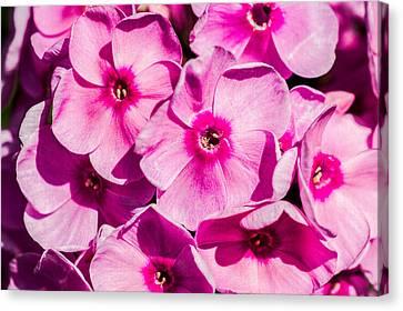 Phlox Canvas Print - Pink Phloxes 3 by Alexander Senin