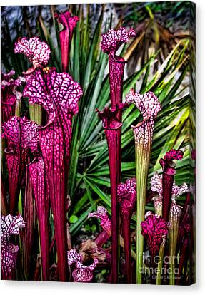 Pink Pitcher Plants Canvas Print by Colleen Kammerer