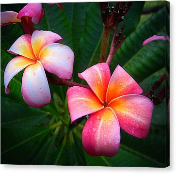 Pink Plumeria Canvas Print by Christy Usilton