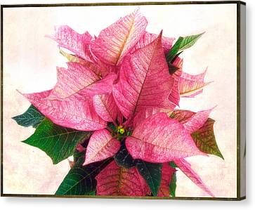 Pink Poinsettia Canvas Print