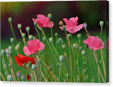 Pink Poppies Canvas Print by Kathy King