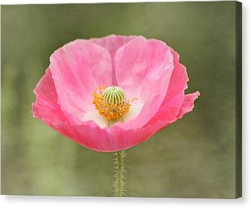 Pink Poppy Flower Canvas Print by Kim Hojnacki