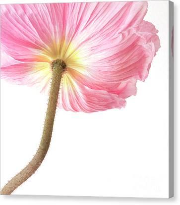 Pink Poppy Canvas Print by Priska Wettstein