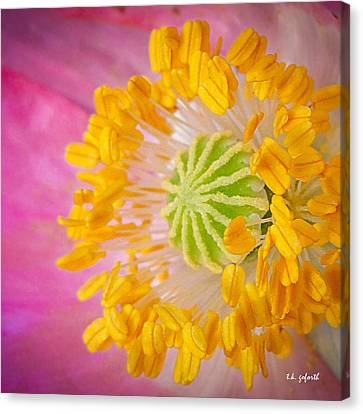 Pink Poppy Too Squared Canvas Print