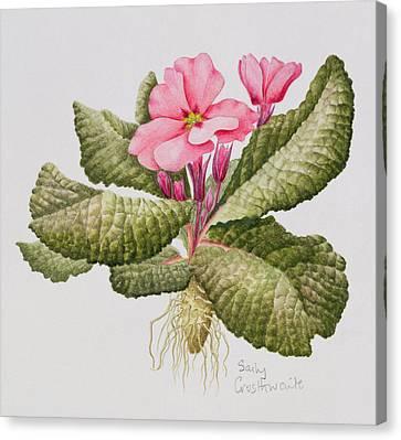 Pink Primroses Canvas Print - Pink Primrose by Sally Crosthwaite
