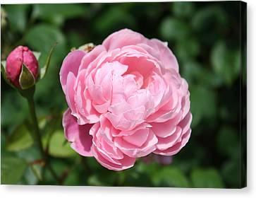 Canvas Print featuring the photograph Pink Rose 2 by Ellen Tully