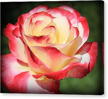 Canvas Print featuring the photograph Pink Rose by Athala Carole Bruckner
