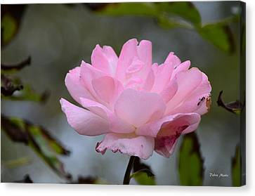 Canvas Print featuring the photograph The Last Rose by Debra Martz