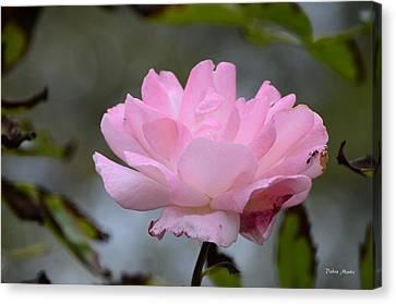 The Last Rose Canvas Print by Debra Martz