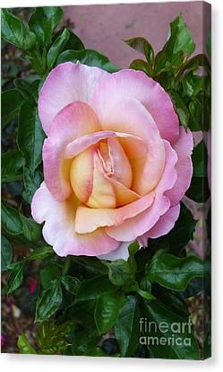 Pink Rose Flowering Canvas Print