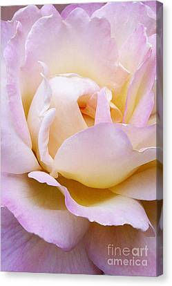 Pink Rose Forming Canvas Print