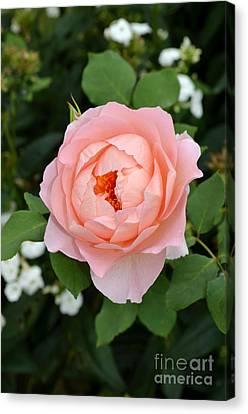 Pink Rose In Hamburg Planten Und Blomen Canvas Print by Eva Kaufman