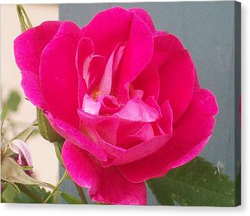 Canvas Print featuring the photograph Pink Rose by Jewel Hengen