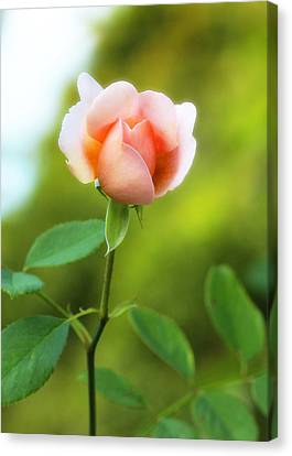 Canvas Print featuring the photograph Pink Rose by Jim Poulos