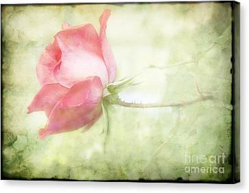 Pink Rose Canvas Print by Joan McCool