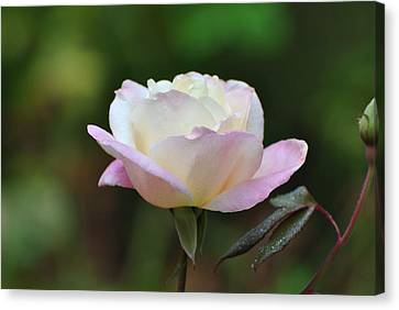 Canvas Print featuring the photograph Pink Rose by Jodi Terracina