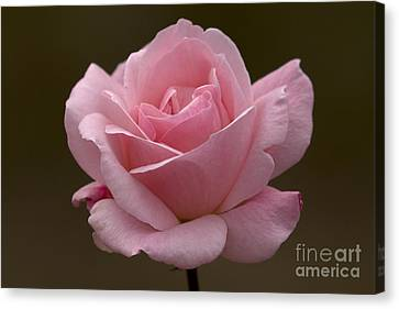 Canvas Print featuring the photograph Pink Rose by Meg Rousher