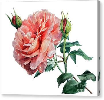 Pink Rose Odette  Canvas Print