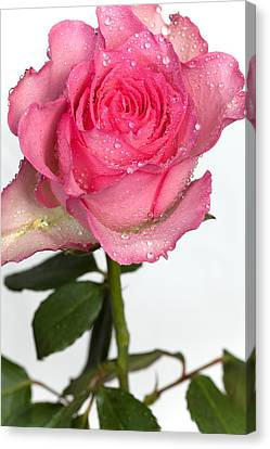 Pink Rose  Canvas Print by Paul Lilley