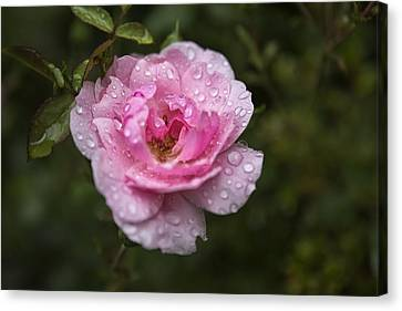 Pink Rose With Raindrops Canvas Print
