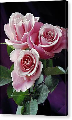 Pink Roses Canvas Print by Anna Miller