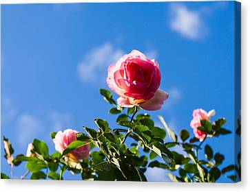 Pink Roses - Featured 3 Canvas Print