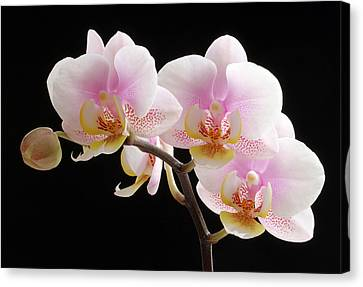 Pink Sensations Canvas Print by Juergen Roth
