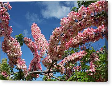 Pink Shower Tree Canvas Print by Venetia Featherstone-Witty