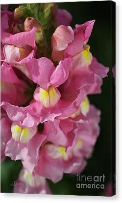 Pink Snapdragon Flowers Canvas Print by Joy Watson