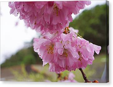 Pink Spring Tree Blossoms Art Prints Canvas Print by Baslee Troutman