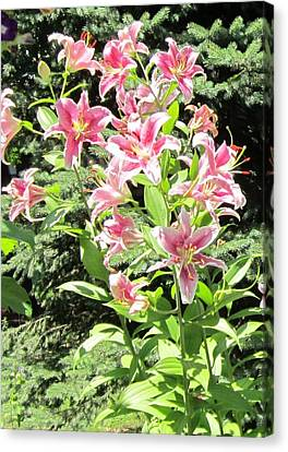 Pink Stargazer Lilies-greeting Card Canvas Print