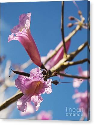 Pink Tabibouia Blossoms Canvas Print by Stuart Wilson