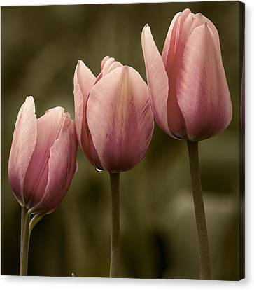 Pink Trio Canvas Print by Sonya Lang