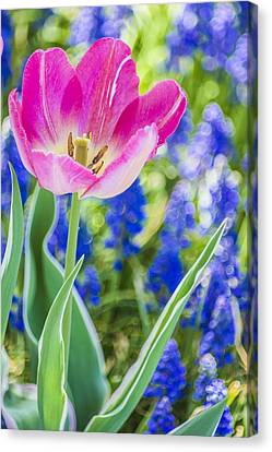 Pink Tulip Blue Backround Canvas Print by Arkady Kunysz