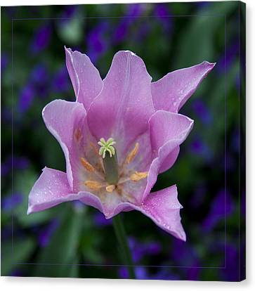 Pink Tulip Flower With A Spot Of Green Fine Art Floral Photography Print Canvas Print by Jerry Cowart