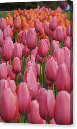 Pink Tulip Impression Canvas Print by Brian Jones