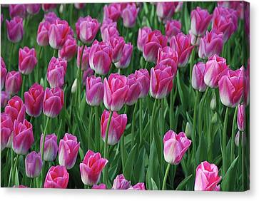 Canvas Print featuring the photograph Pink Tulips 2 by Allen Beatty