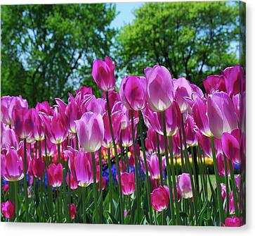 Canvas Print featuring the photograph Pink Tulips by Allen Beatty