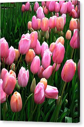 Canvas Print featuring the photograph Pink Tulips by Haleh Mahbod