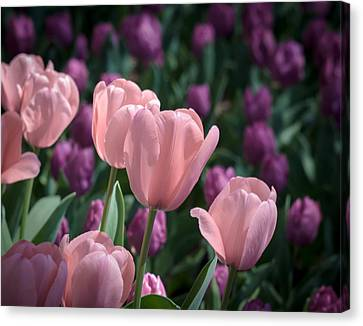 Jamesbarber Canvas Print - Pink Tulips by James Barber