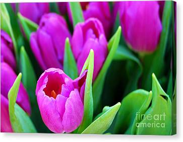 Pink Tulips Canvas Print by Sabine Jacobs