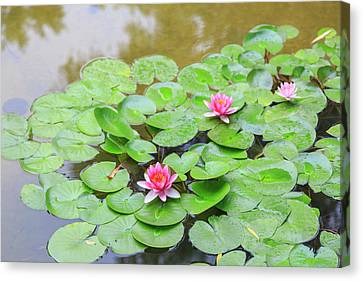 Pink Water Lilies, Lake View Hotel Canvas Print by Stuart Westmorland