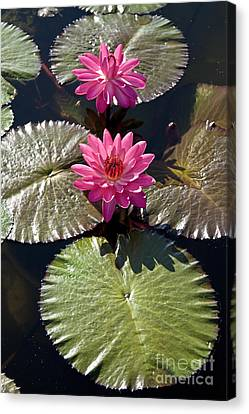 Pink Water Lily IIi Canvas Print by Heiko Koehrer-Wagner