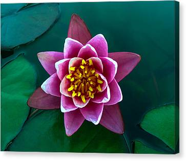 Rose Waterlily Canvas Print by Allan Levin