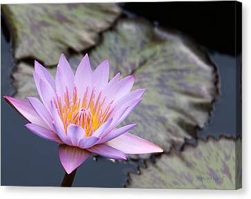 Pink Water Lily At Dusk Canvas Print by Yvonne Wright