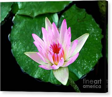 Canvas Print featuring the photograph Pink Waterlily Flower by David Lawson
